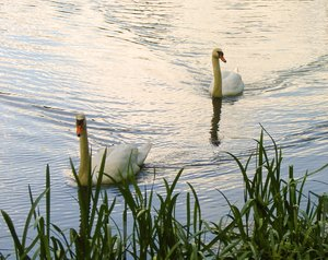 a pair of swans 2
