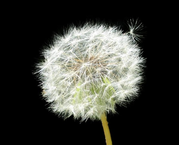 dandelion isolated: dandelion isolated