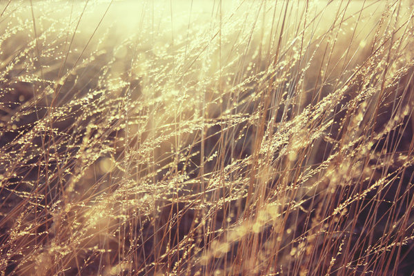 Golden grass: In the setting sun this dry grass looks like golden.