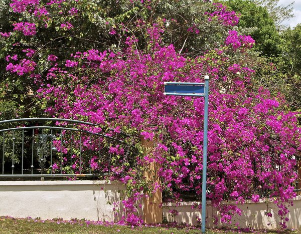 Bougainvillea Corner: Street sign at crossing, beautiful Bougainvillea background. Taken in Trinidad.