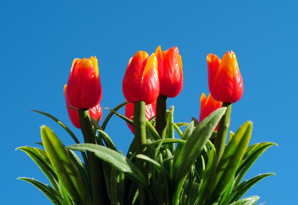 tulips: red tulips in blue sky