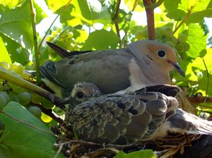 Mom and Baby: A mother dove and her baby in our grape vine.