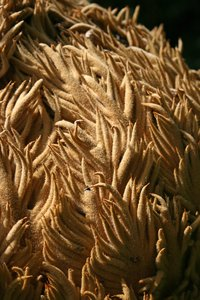 Cycad crown close-up: Close-up of the fuzzy crown of a cycad tree in Madeira.
