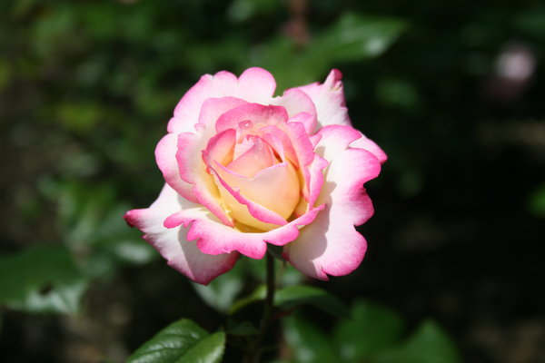 natural beauty: Pink rose from botanical garden