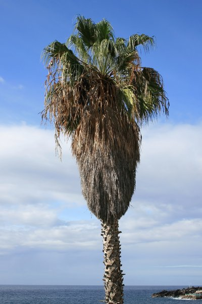 Shaggy palm tree
