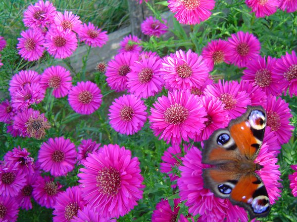 bold coloured flowers and butt: pink asters in full bloom with peacock butterflies
