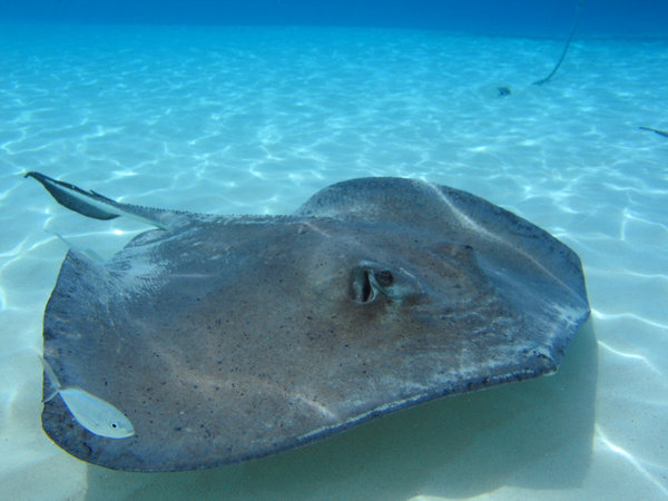 Grand Cayman Stingray:
