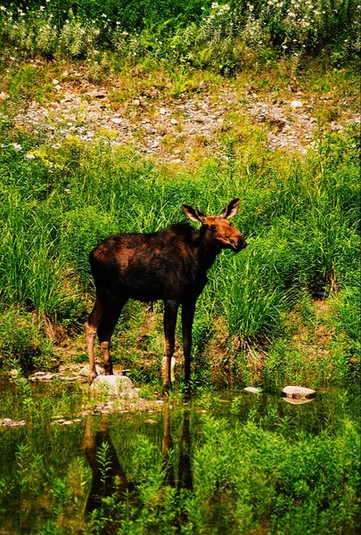 Moose at a water hole 3