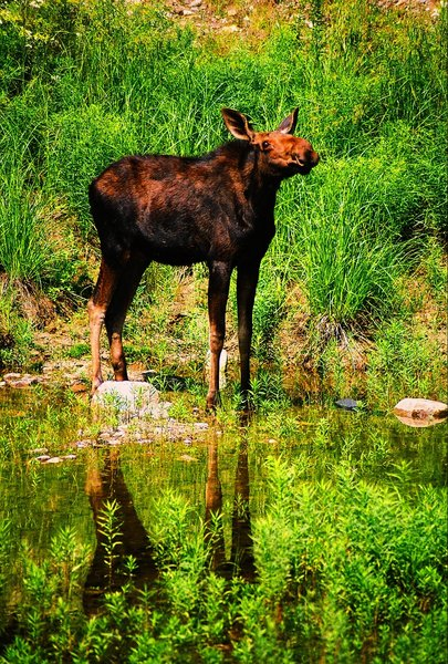 Moose at a water hole 1