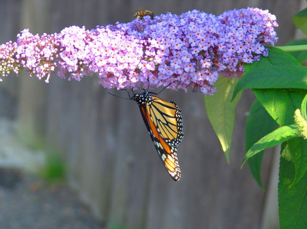 Summer Flutter: Butterfly on butterfly bush fluttering it's wings and a Honey Bee.