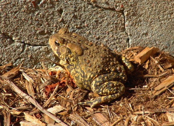 Toad Frog: Toad Frog fall season of year, any of various tailless stout-bodied amphibians with long hind limbs for leaping; semiaquatic and terrestrial species