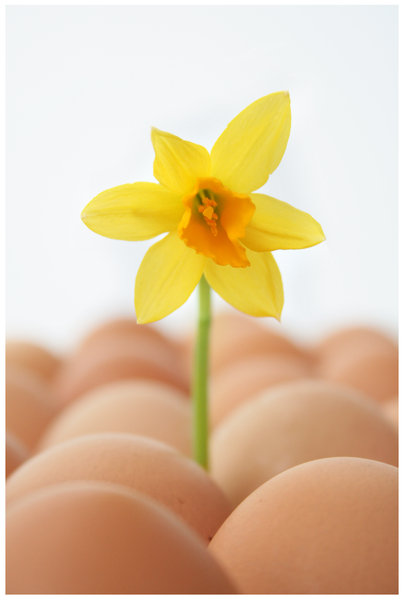 easter athmosphere. 2: eggs and daffodils.  real spring.