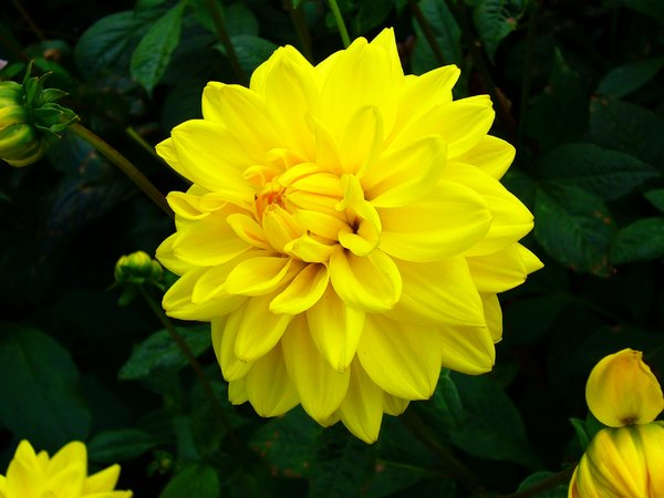 Bright Yellow Dahlia: I took this picture for the vibrancy of the yellow and its effective contrast against the dark green background.