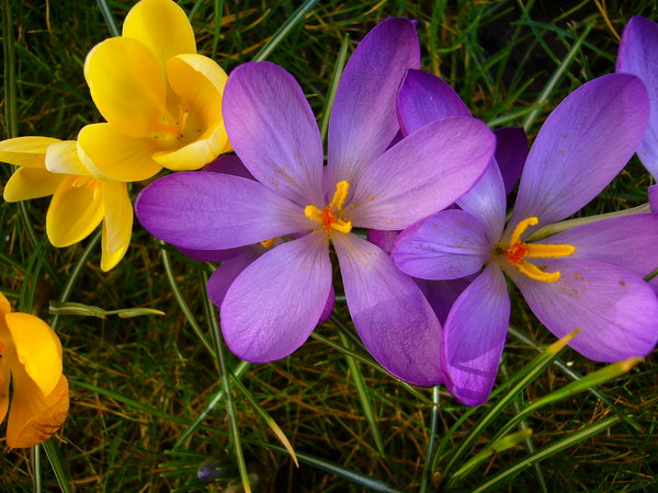 Spring Garden 4: A beautiful sunny day, bringing all the crocuses in my garden to life.