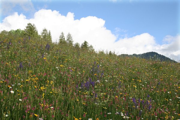 Montane meadow: A meadow of summer wild flowers in the Dolomites, Italy.