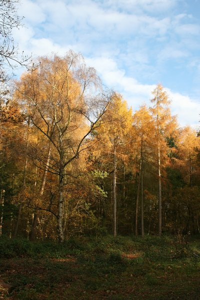 Larch woodland in autumn