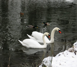 swans in frozen pond