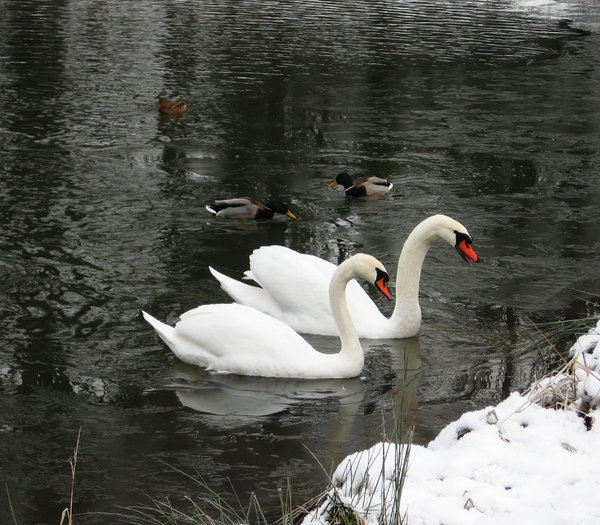 swans in frozen pond: none