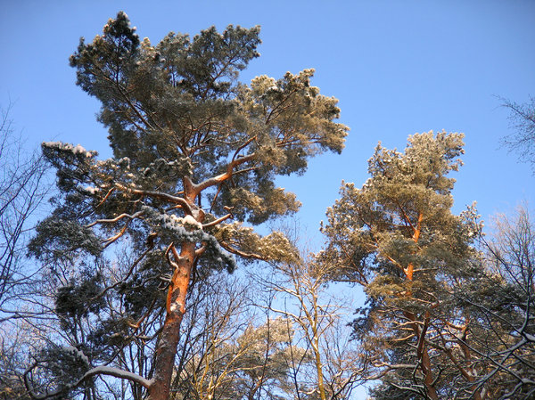 forest pines in winter