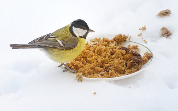 Winter bird feeding: Little yellow bird on a plate with crumbs