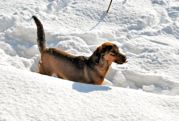 Dog in the snow: Dog in the snow at winter
