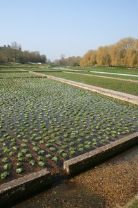 Watercress beds