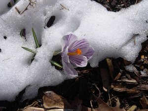Springs Promise: Spring flowers coming up through winter snows ~ springs promise of another wonderful year