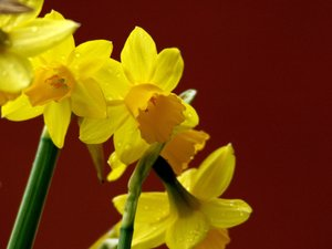 Daffodils: Daffodils, the symbol of easter.