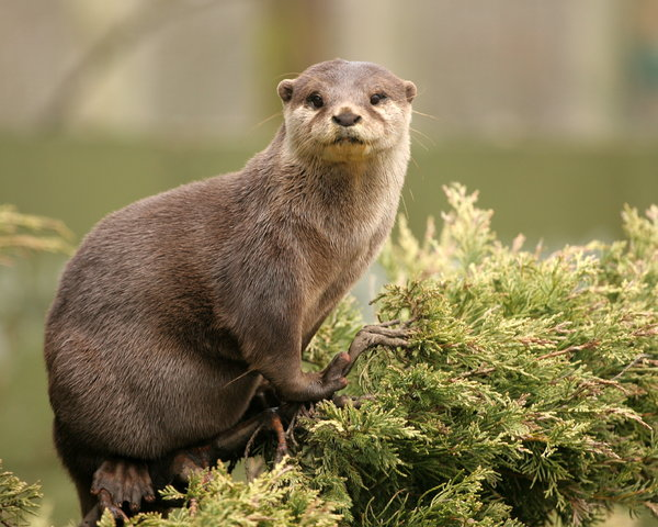 Otter Up a Tree