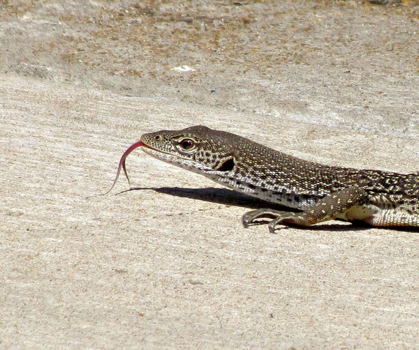 road runner: Australian monitor lizard moving across the side of the road