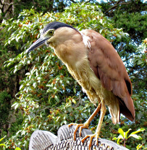 sharp eyed1b: sharp eyed Nankeen night heron