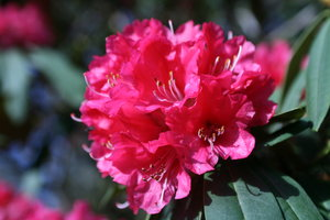 flowers: close-up, rhododendron, and dont know what the yellow one is...