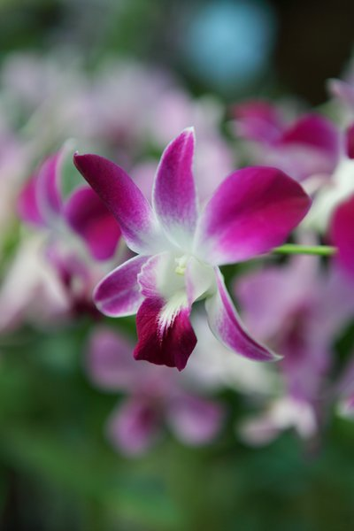 Purple Orchids 1