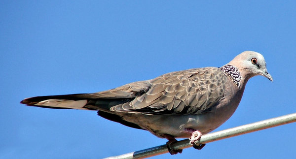 wild dove: non-native Australlian wild dove