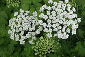 Umbellifer flowers: Flowers of an unidentified umbellifer in a garden in England.