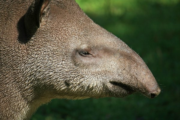 Tapir head: Head of an adult Brazilian tapir (Tapir terrestris).