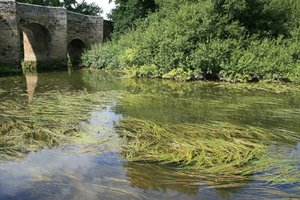 Waterweed: Waterweed in a river in West Sussex, England.