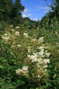 Wild meadowsweet flowers: Meadowsweet (Filipendula ulmaria) growing on damp ground beside a river in West Sussex, England.