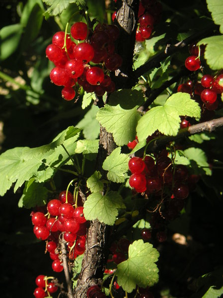 Red currant 1: Red currant bushes in grandma´s garden.
