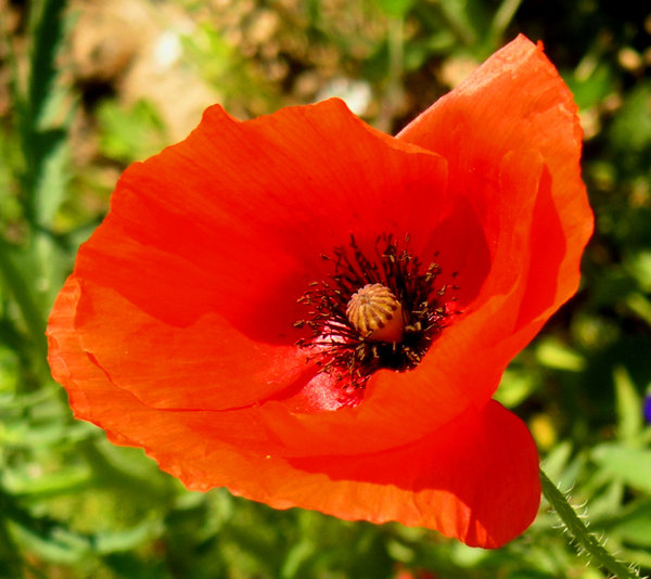 Poppy collection 3: Colorful poppies