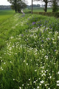 Wild spring flowers: Wild stitchwort and bluebell flowers on the verge of a country lane in Sussex, England, in spring.