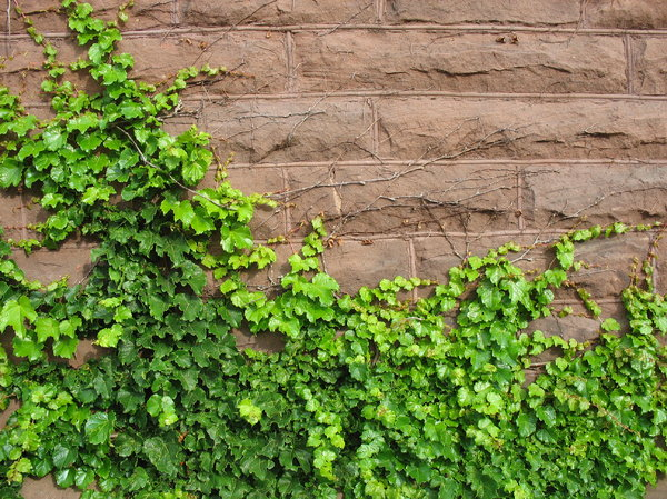 stone and ivy: ivy growing on a stone wall.