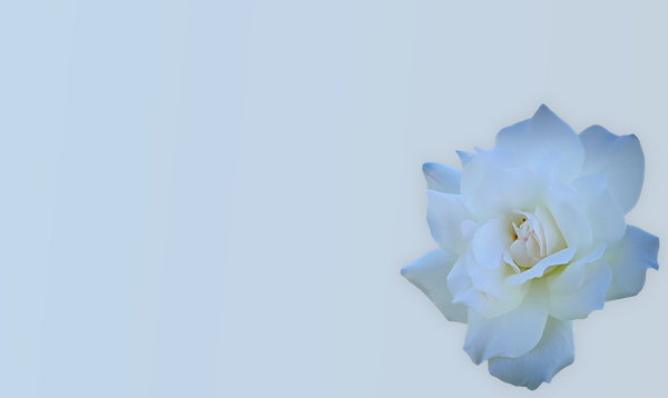 Tinted Rose: A beautiful tinted white rose isolated on a pale background. Easy to add more copyspace.