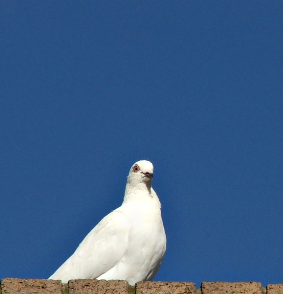 white peace bird