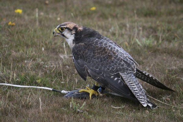 Lanner Falcon: A lanner falcon (Falco biarmicus) at a lure.