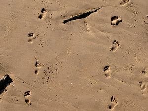 footprints - hers & his: female and male barefooted footprints in damp beach sand going in same direction