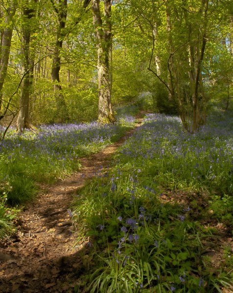 Bluebell Wood HDR: