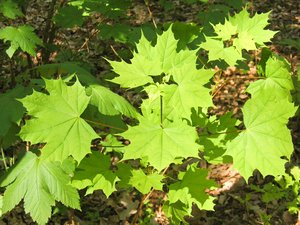 young maple leaves at spring
