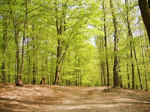 beech forest at spring