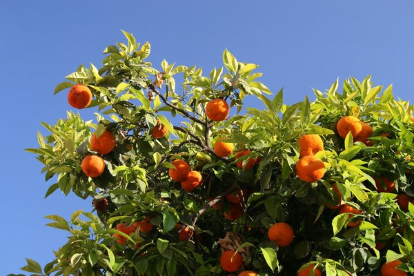 Seville oranges: Seville oranges growing on a street in Malaga, Spain.